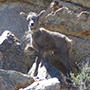 Bighorn lamb with collar