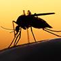 Anopheles stephensi mosquito