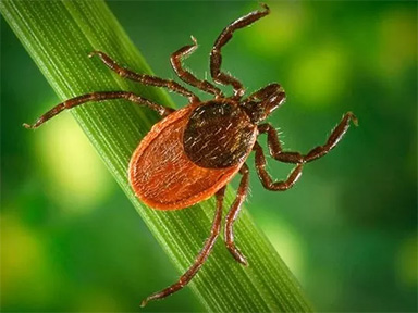 Close up of a deer tick