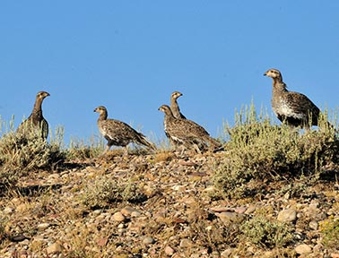 sage grouse hens
