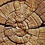 brislecone tree rings