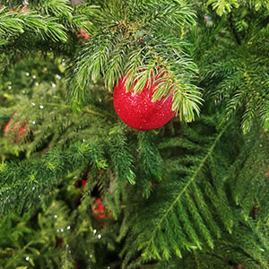 norfolk pine with red ornament