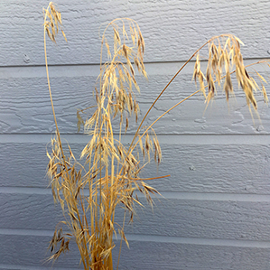 A bundle of cheatgrass in front of a house