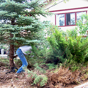 A man clears juniper bush from outside of his home