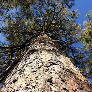 A ponderosa pine trunk and branches