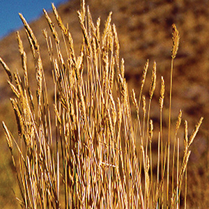 A bundle of golden Crested Wheatgrass in a dry field.