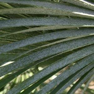 Palm fond