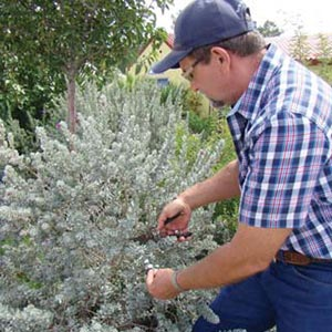 Pruning Desert Shrubs