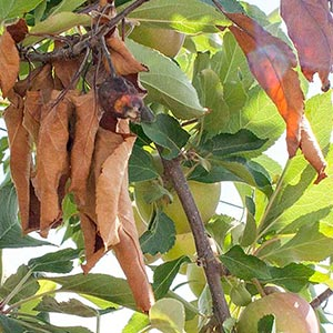 fruit tree with Fire Blight