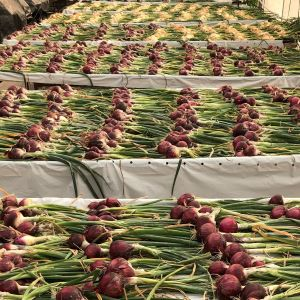 Red and yellow onions laid out on tables to cure at DFI (Fall 2020)