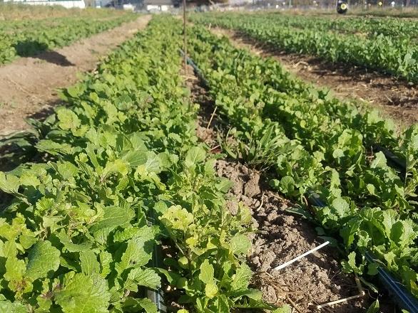 DFI Winter Cover Crops