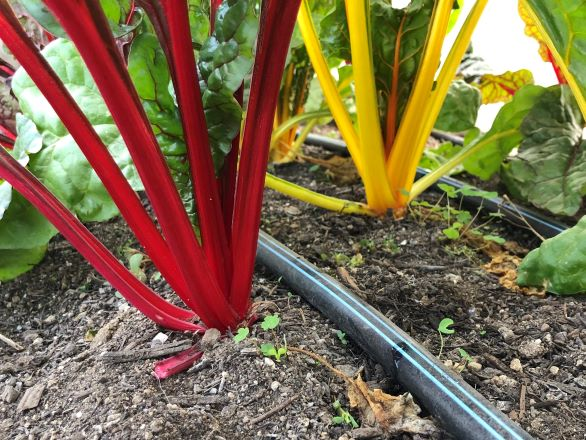 Drip irrigation line under rainbow swiss chard