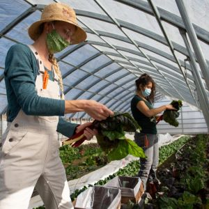 Anna and Yesenia picking chard in a hoop house