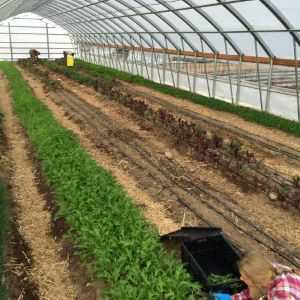 Rows of crops and irrigation line in a hoop house