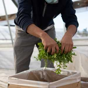 Arugula being harvested and packaged into a box