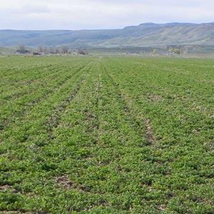 alfalfa hay field