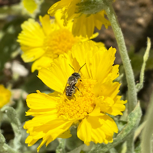 Native bee on desert marigold
