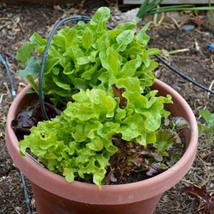 Butterleaf lettuce growing in a pot