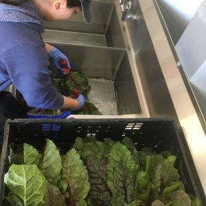 student washing greens in sink