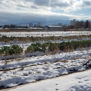 snow covering our winter fields