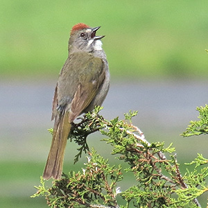 green tailed towhee at swan lake nevada