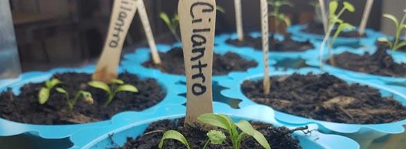 cilantor plants