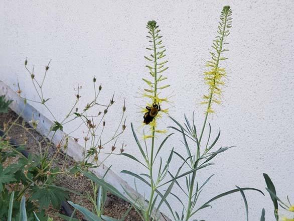 bumblebee on prince's plume