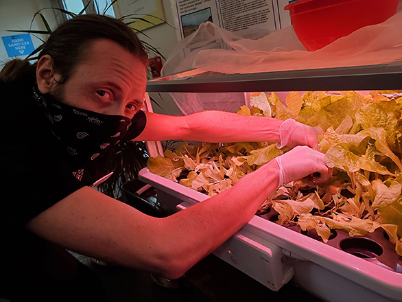 Ian havesting from hydroponics unit