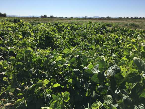 forage soybean plants