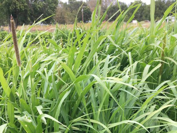 a peal millet plant in a field