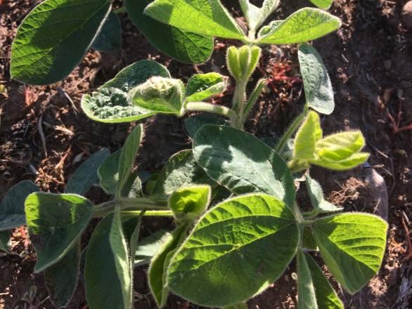 a soybean plant in soil