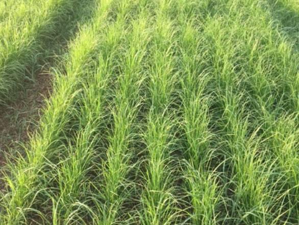 teff plants in a field