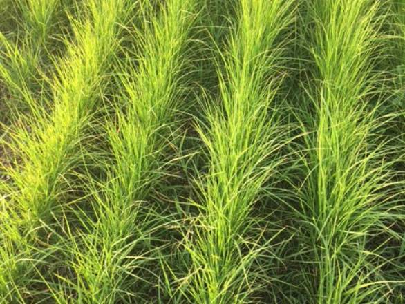 individual teff plants in a field