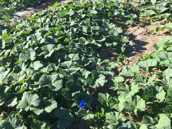butternut squash leafs in a field