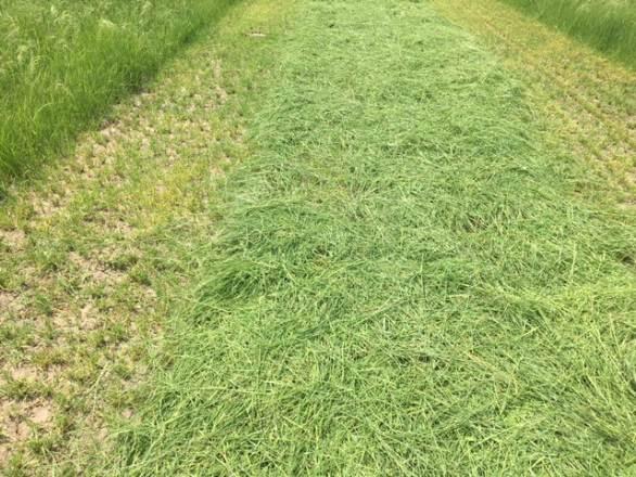a field of cut teff plants