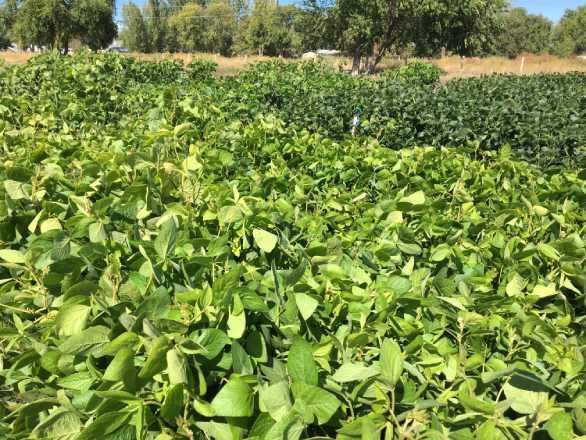 field of soybean plants