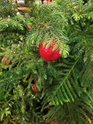 red ornament on Norfolk Island pine