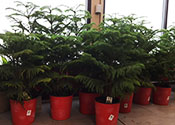 Norfolk Island pine trees in pots