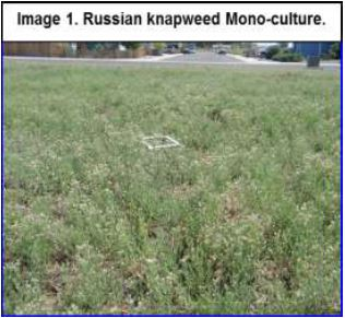russian knapweed mono culture