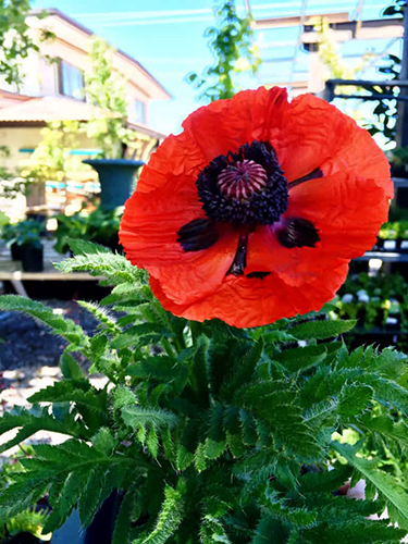 potted poppy plant in bloom