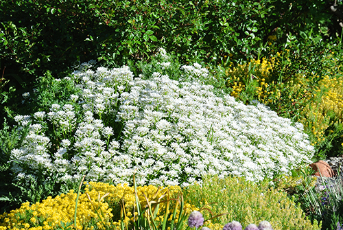 garden with white and colored flowers