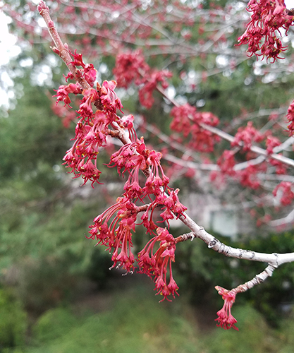 close up of maple flowers