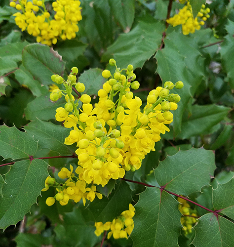 close up of oregon grape flowers