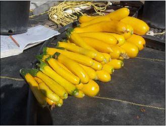 golden zucchini for sale