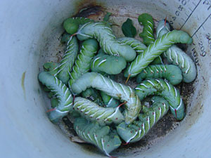 Photo of a cup full of tomato hornworms