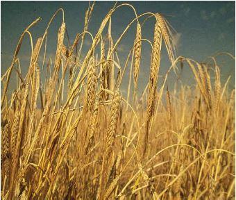 barley yields