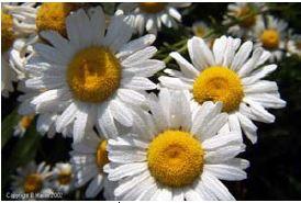Oxeye daisy petals