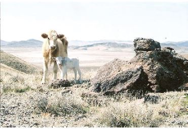 Lyon County cow and calf