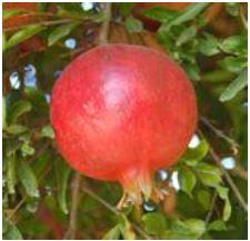 Pomegranate Reaching Maturity