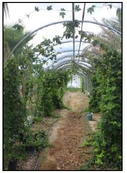 Hops in shaded hoop